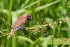 Scaly-breasted Munia eating grass seed Royalty Free Stock Image