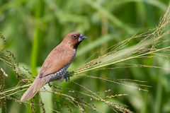 Scaly-breasted Munia eating grass seed Stock Image