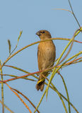 Scaly breasted munia juvenile bird. With a blue sky as the background Royalty Free Stock Photos