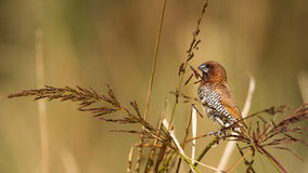 Scaly-breasted munia male bird in Nepal Stock Photo