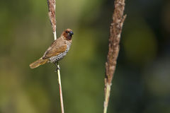 Scaly-breasted munia in Nepal Stock Photos