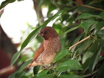 Scaly-breasted munia perching on tree in the garden. Bird on the tree to look for food Royalty Free Stock Image