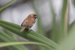 Scaly-breasted munia Stock Image