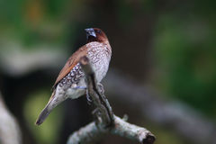 Scaly-breasted munia. The scaly-breasted munia or spotted munia (Lonchura punctulata), known in the pet trade as nutmeg mannikin or spice finch, is a sparrow Stock Photo