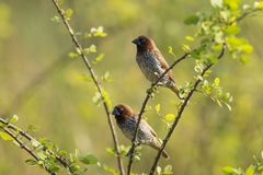 Pair of scaly breasted munia sitting on branch Stock Photography