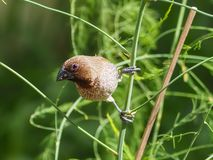Scaly-breasted Munia royalty free stock image