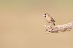 Scaly-feathered Finch Royalty Free Stock Photos