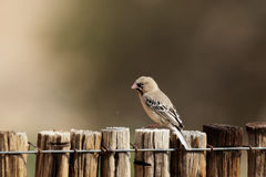 Scaly-feathered Finch. (Sporopipes squamifrons) sitting on a wooden fence in Namibia stock photo