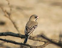 Scaly-feathered Finch - African Gamebird Royalty Free Stock Image