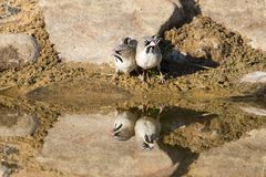 Scaly-Feathered Finch drinks water from a waterhole in Kalahari. Scaly-Feathered Finch drinks water from a waterhole in the Kalahari desert Stock Image