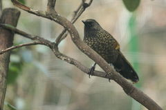 Scaly laughingthrush. The scaly laughingthrush sitting on the branch Stock Photos
