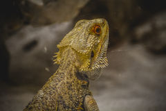 Scaly lizard skin resting in the sun Royalty Free Stock Photography