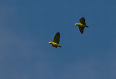 Scaly-naped Parrots on flight Royalty Free Stock Photography