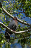 Scaly-Naped Pigeon. The Scaly-Naped Pigeon (Columba squamosa) is a common resident bird of St. Kitts.  It can be found in mountain forests, wooded lowlands, and Royalty Free Stock Photos