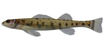 Scaly Sand Darter. Fish on white background file Stock Images