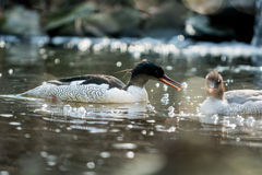 Scaly-sided merganser Stock Photos