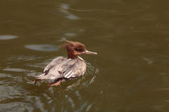 Scaly-sided merganser duck Mergus squamatus. Swims in a pond in spring Royalty Free Stock Photos