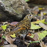 Scaly Thrush Royalty Free Stock Photography