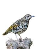 Scaly Thrush bird Royalty Free Stock Images