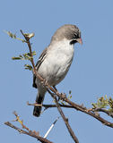 Scalyfeathered Finch (Sporopipes squamifrons) Stock Photography