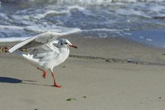 Scamper seagull Royalty Free Stock Image