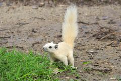Scampering around the ground, after a morning storm, a rare young white squirrel, in search for food. stock photography