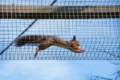 Scampering squirrels. Endangered red squirrel leaping along a wire tunnel between enclosures royalty free stock photography