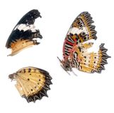 Scan of Butterfly wings Royalty Free Stock Photo