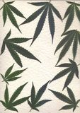 Scan of fresh leaves of marijuanafor frames and banners Stock Images
