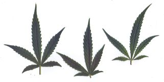 Scan of fresh leaves of marijuanafor frames and banners Stock Photos