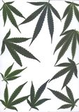 Scan of fresh leaves of marijuanafor frames and banners Stock Image