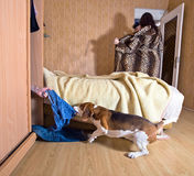 Scandal. The dog has found the lover in a wardrobe Stock Image