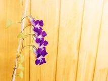 Scandens roxos de Asarina das flores no fundo de um claro - parede de madeira amarela imagens de stock