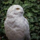 Scandiaca nevado de Nyctea da coruja - homem fotos de stock royalty free