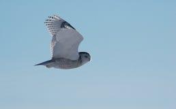 scandiacus κουκουβαγιών bubo χιονώ&delta Στοκ Φωτογραφίες