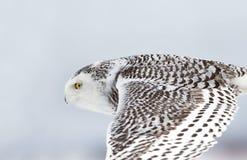 Scandiacus Bubo сыча Snowy летает низко над охотиться открытое снежное поле Стоковые Изображения RF