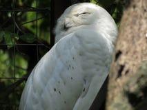 Scandiacus del Bubo o sonno nevoso del gufo Immagine Stock Libera da Diritti