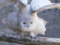 Scandiacus nevado do bubão da coruja imagens de stock royalty free