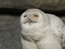Scandiacus nevado do bubão da coruja fotos de stock