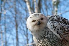 Scandiascus nevado do bubão da coruja fotografia de stock royalty free