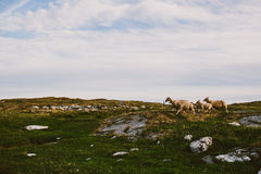 Scandinavian countryside with sheep Royalty Free Stock Images