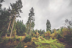 Scandinavian forest in autumn. With birch and pine trees Stock Photo