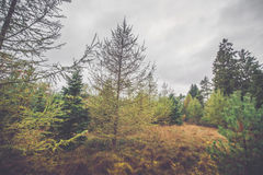 Scandinavian forest in autumn. With pine trees in cloudy weather Royalty Free Stock Photos