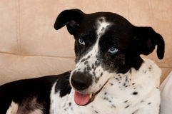 Scandinavian hound dog. Scandinavian hound laying on the sofa royalty free stock image