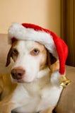 Scandinavian hound dog wearing christmas hat. Scandinavian brown hound dog wearing christmas hat stock photography