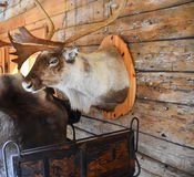 Scandinavian reindeer composition. Reindeer head with antlers, rustic sleigh and animal fur against old wooden wall from a lodge. Christmas and New Years theme Royalty Free Stock Photography