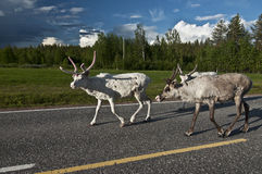 Scandinavian Reindeer stock photography