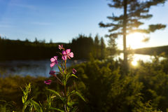 Scandinavian river with fireweed flower Stock Photo