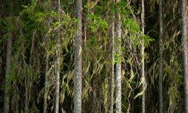 Scandinavian spruce trees Stock Photo
