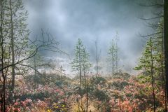 Scandinavian summer bright foggy morning forest. Royalty Free Stock Image